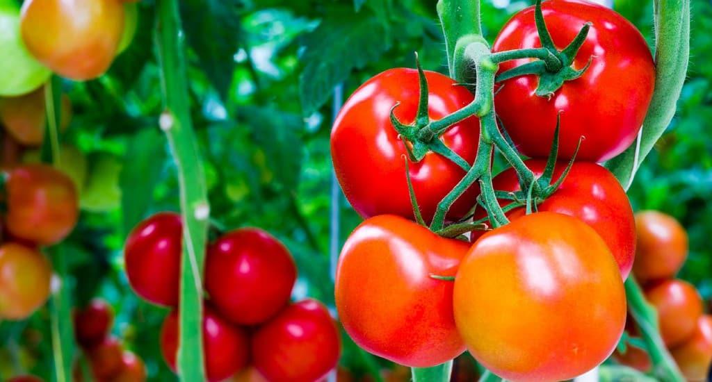 tomate_104034200_web
